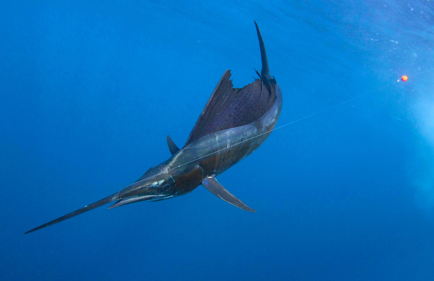 How to Properly Handle a Billfish